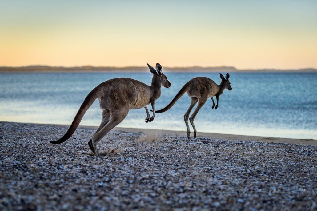 Toyota Camera Ernie Discovery Filming Camp LowRange Australia Landcruiser 4x4 4WD Gleno Kenno Camping Outback Hilux GXL Landscape wallaby Kangaroo